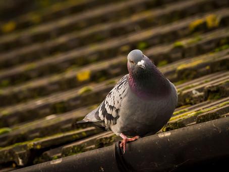 Pigeon Matters