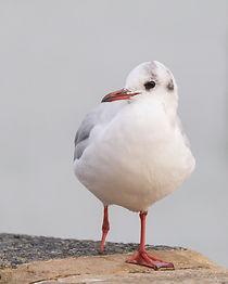 Blackheaded Gull pg