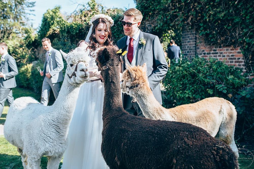 wedding-alpacas