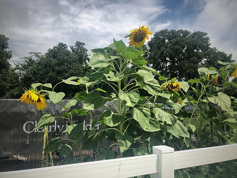 CHA-WB_Sunflowers.jpg