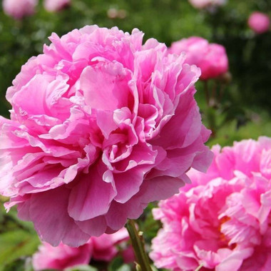 Paeonia Dr. Alexander Flemming