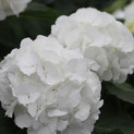 Hydrangea White Verena