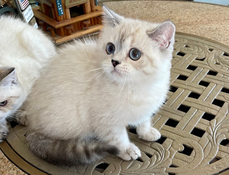 British Shorthair White Color Point Male -  $1600