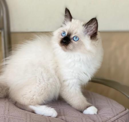 Ragdoll-Birman Male Kitten - $2800