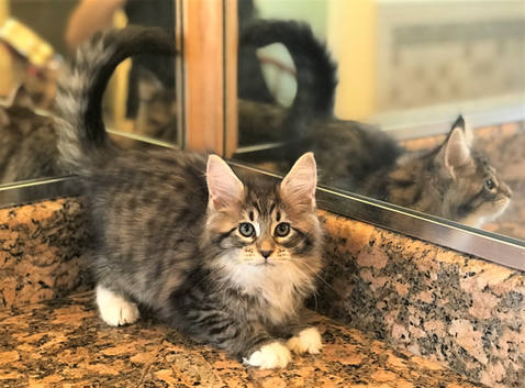 Forest Brown Maine Coon Kitten