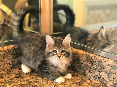Forest Brown Maine Coon Kitten