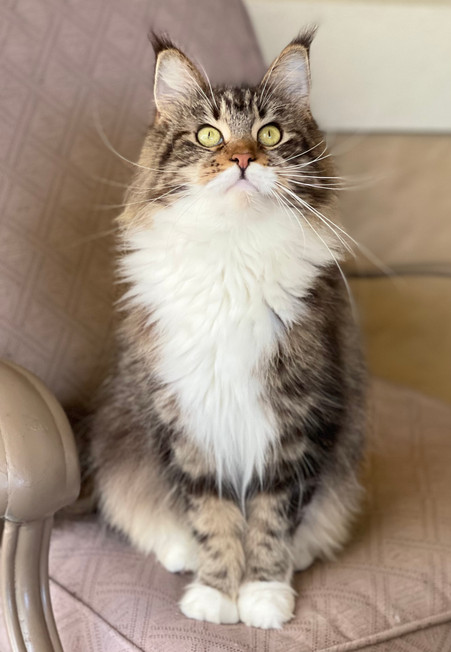 Maine Coon Young Adult Female - $2200