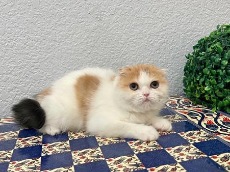 Scottish Fold Calico Female Kitten - $1700