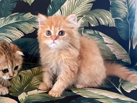 British Medium Hair Orange Male Kitten - $1600