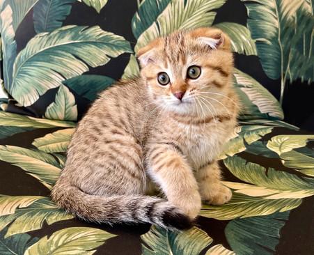 Scottish Fold Golden Tabby Male Kitten - $1900