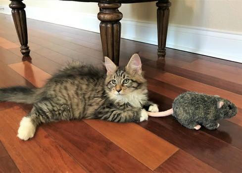 Forest Brown Maine Coon