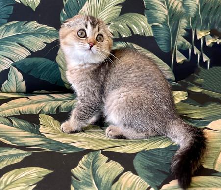 Scottish Fold Dark Golden Female Kitten - $1900