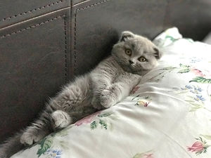 Scottish Fold Laying