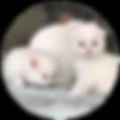 2 white kittens.PNG