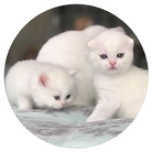 2 white kittens.PNG