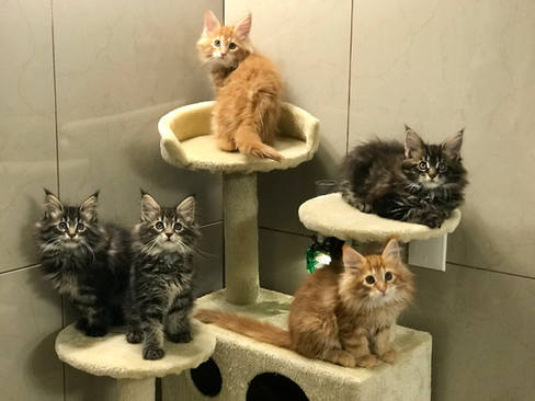 Collection of Maine Coon Kittens
