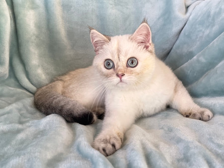 British Shorthair White Color Point Male - $1500