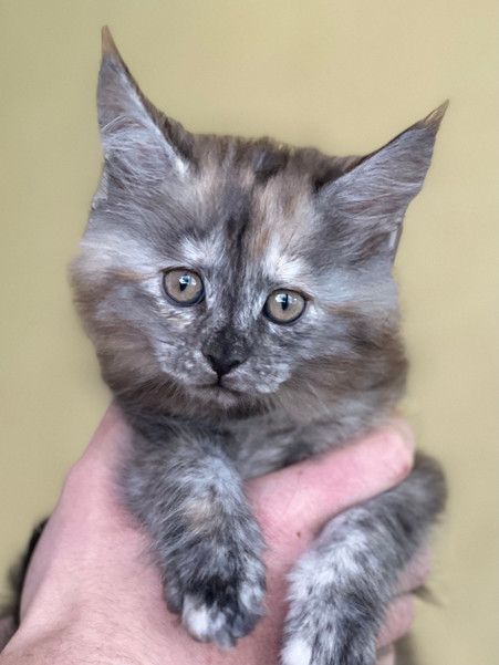 Maine Coon Tri-Color Female Kitten - $1400