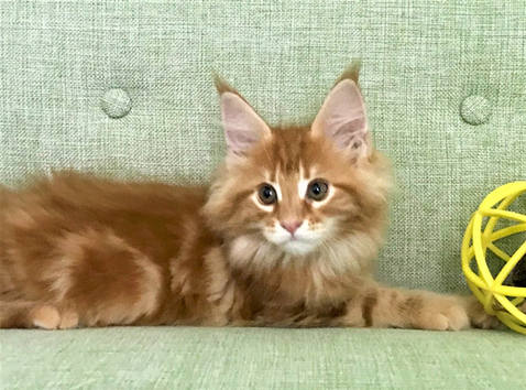 Red-Orange Maine Coon Kitten