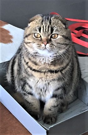 British/Scottish Kittens For Sale, Orlando FL, USA