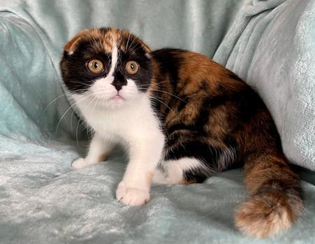 Scottish Fold Calico Female Kitten - $2200