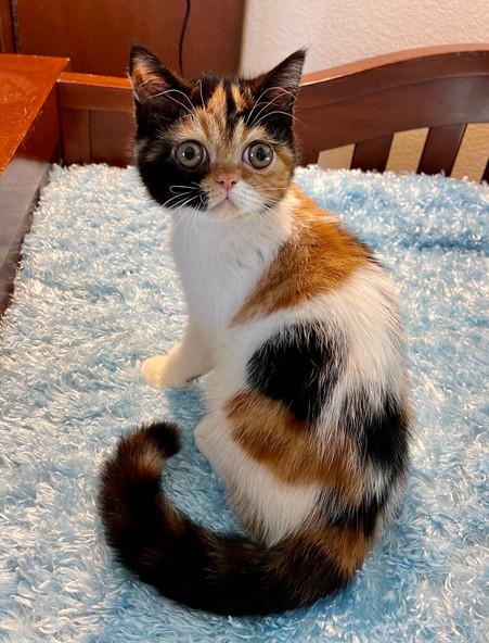 Exotic Shorthair Calico Female Kitten - $1800
