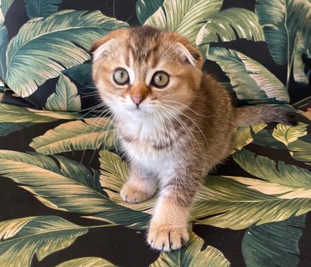 Scottish Fold Golden Male Kitten - $1900