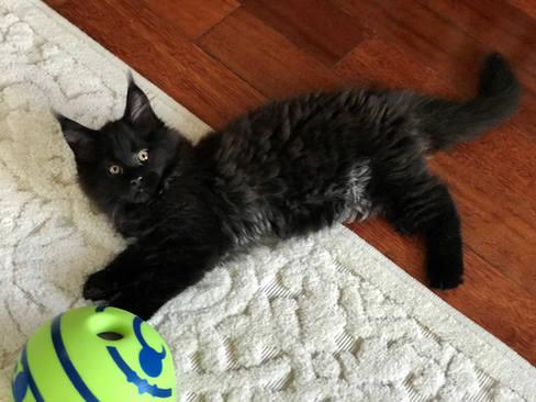 Smokey Black Maine Coon kitten