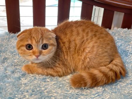 Scottish Fold Orange Female Kitten - $1900
