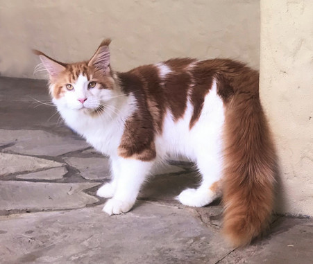 Maine Coon Orange and White Young Adult Male - $2200