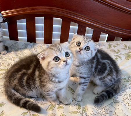 Scottish Fold Silver Marble Sisters - $1900