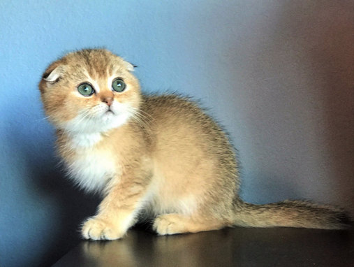 British/Scottish Kittens For Sale, Orlando, FL, USA