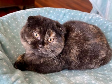 Scottish Fold Plush Tortoiseshell Female Kitten - $1500