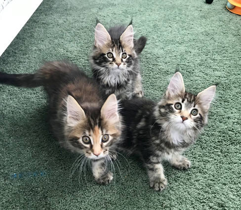 Brown Maine Coon Kittens