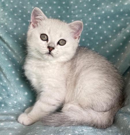 British Shorthair Silver Chinchilla Male Kitten - $1900