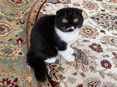 Scottish Fold Black and White Female - $1600