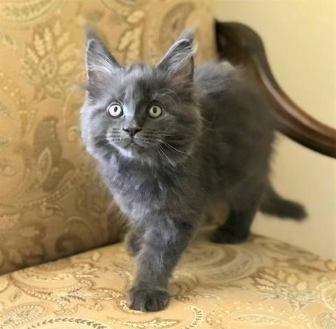 Blue-Grey Maine Coon kitten
