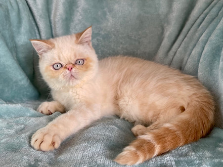 Exotic Shorthair Fire Point Male Kitten - $1900