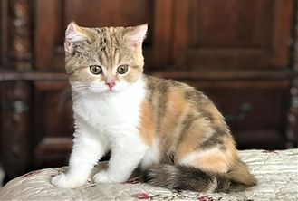 Scottish Straight Calico Shorthair