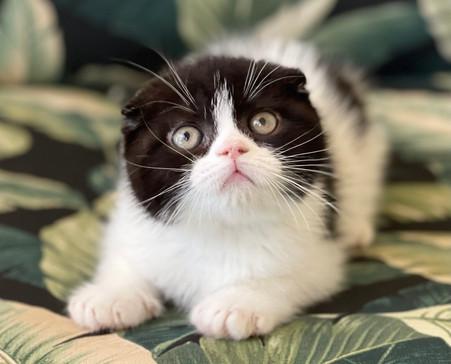 Scottish Fold Black and White Male Kitten - $2200