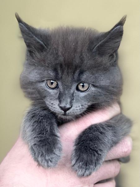 Maine Coon Grey Male Kitten - $1800