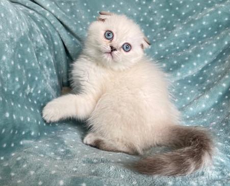 Scottish Fold White Color Point Male Kitten - $1900