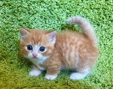 Munchkin Orange and White Male Kitten - $2800