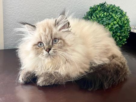 Siberian Color Point Female Kitten - $2500