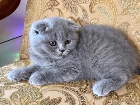Scottish Fold Blue Female Kitten - $2200