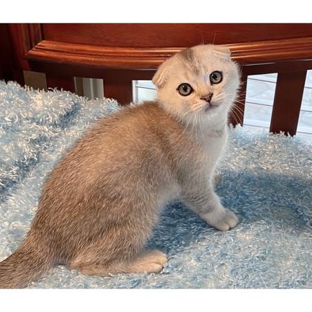 Scottish Fold Silver Chinchilla Male Kitten - $2200