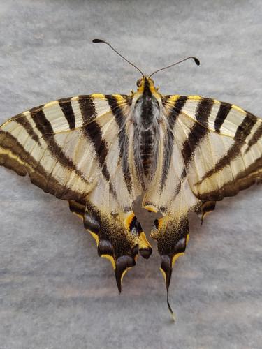 Swallowtale Butterfly (Papilio machaon)