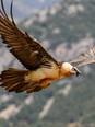 Bearded Vulture - Trencalòs - Quebrantahuesos