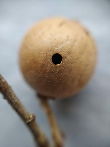 Oak Marble Gall - Macarulla - Agalla de Avispa en brote de Roble