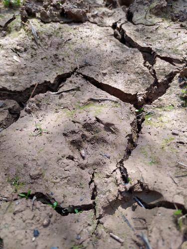 Rock Marten Tracks - Petjades de Fagina - Huellas de Garduña
